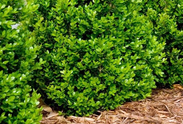 Вечнозеленые декоративные кустарники для сада