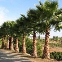 Пальма вашингтония — как выращивать и ухаживать