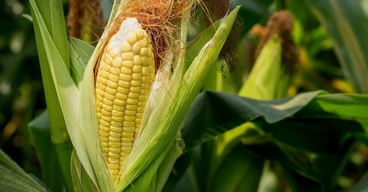 Когда нужно и как посадить кукурузу