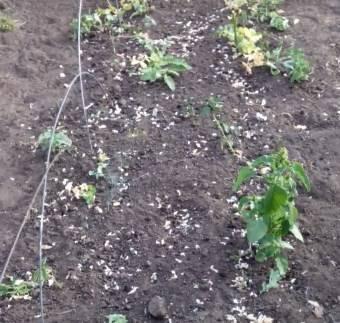 Чечевица: выращивание