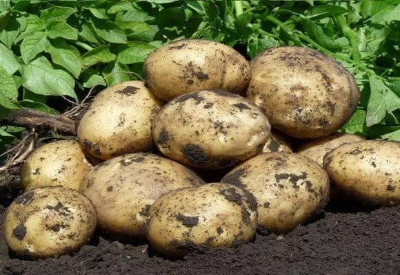 Как применять горчицу для огорода