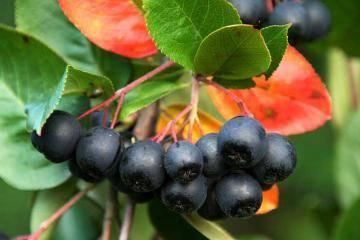 О лечебных свойствах черноплодной рябины и её вреде и противопоказаниях