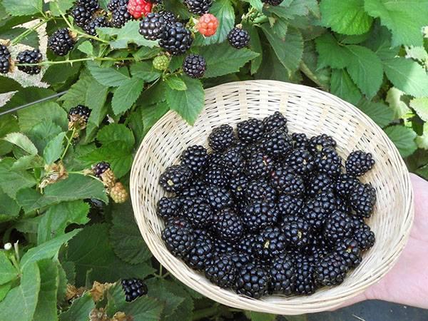 Все правила выращивания ежевики: сажаем, формируем, размножаем и обрабатываем от вредителей