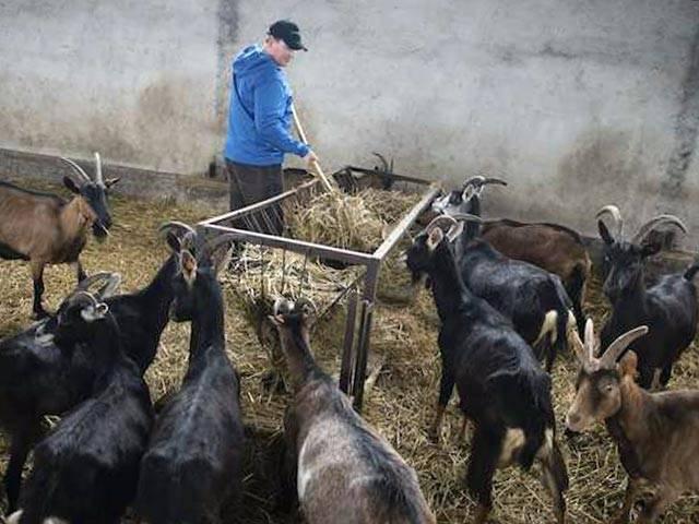 Выращивание и разведение коз