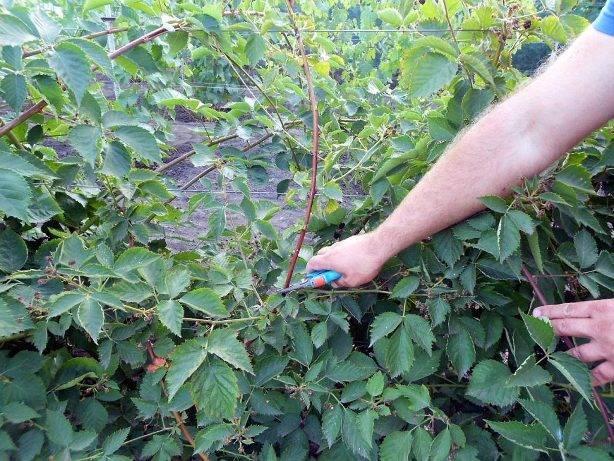 Правильные схемы обрезки садовой ежевики для начинающих садоводов.