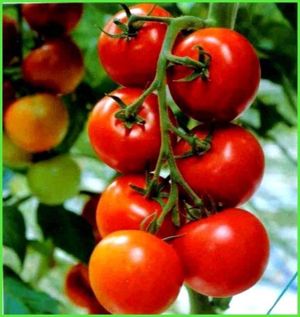 Лучшие сорта томатов для ленинградской области