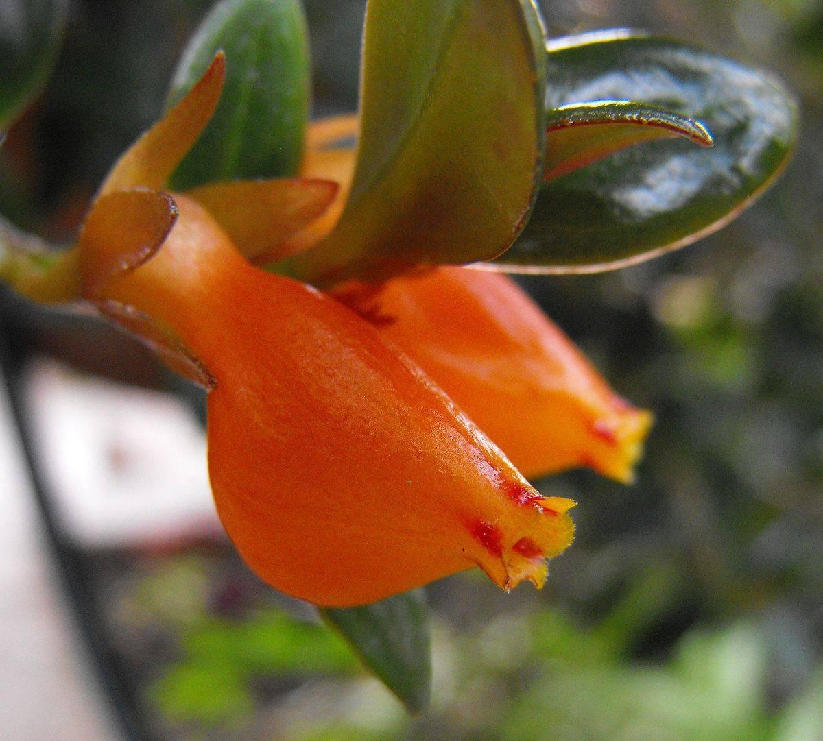 Цветок гипоцирта или нематантус уход в домашних условиях размножение черенками фото видов