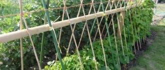 Как вырастить фасоль на даче в открытом грунте
