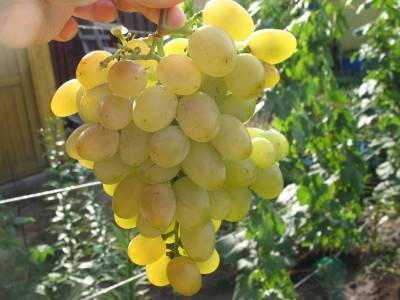Описание сорта винограда потомок ризамата