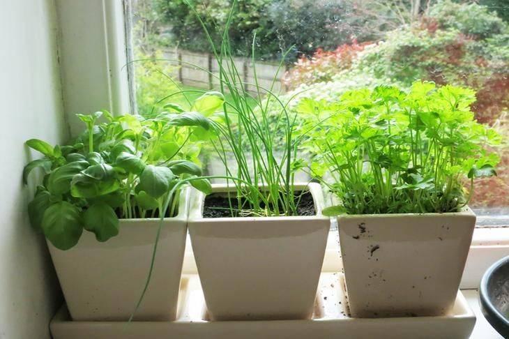 Розмарин: выращивание и уход в домашних условиях
