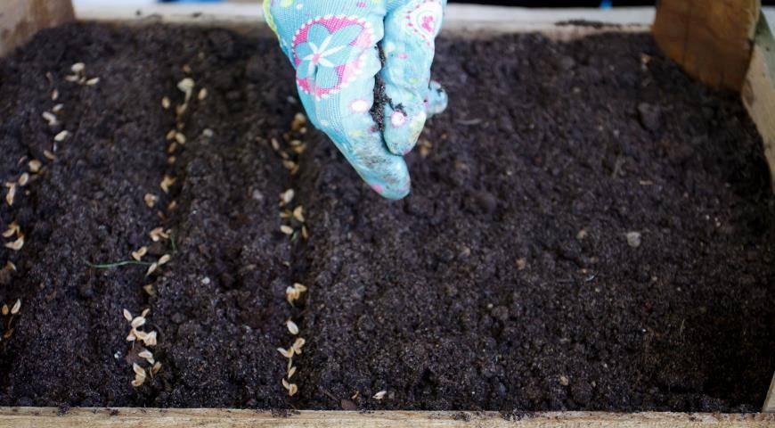 Как выращивать тую из семян и черенков в домашних условиях?