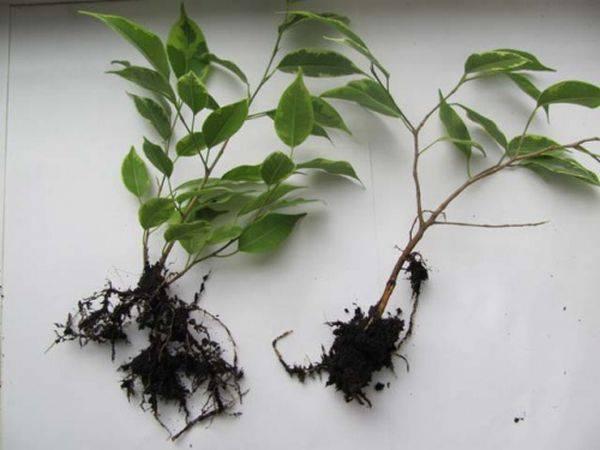 Все способы размножения фикуса бенджамина. как правильно укоренять и можно ли вырастить из семян?