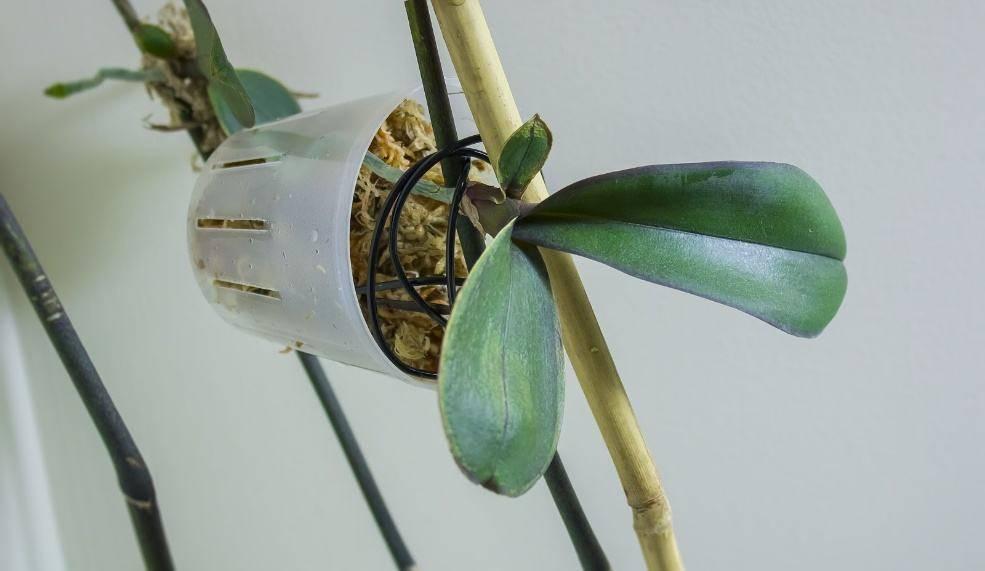 Возможно ли размножение орхидей корнями в домашних условиях?