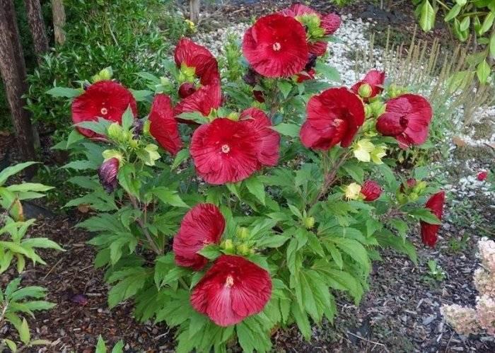 Травянистый красавец гибискус: как вырастить в своем саду?