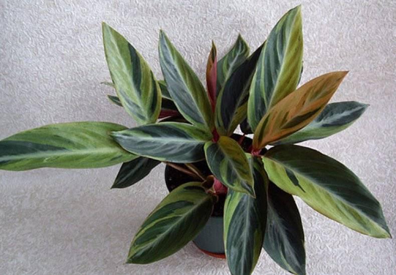 Самые главные причины, почему у спатифиллума чернеют листья. что делать, чтобы спасти цветок?