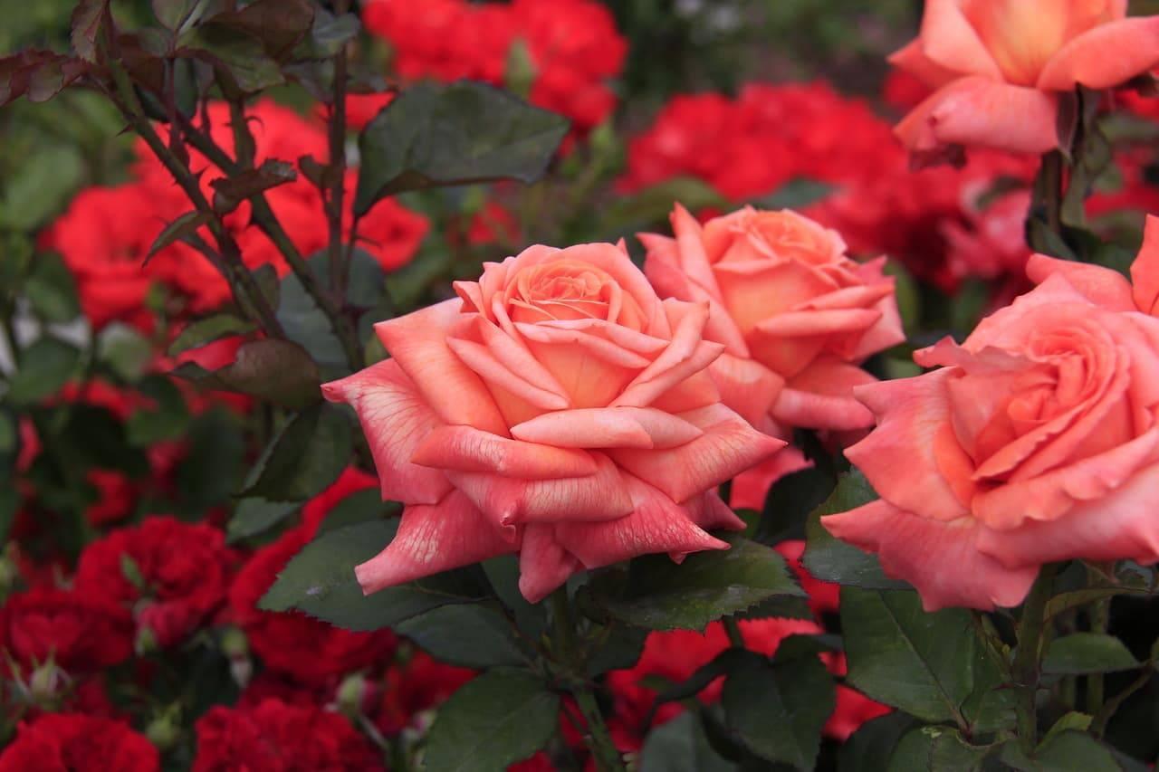 Чайно-гибридная роза: выращивание и уход в открытом грунте,фото,видео.