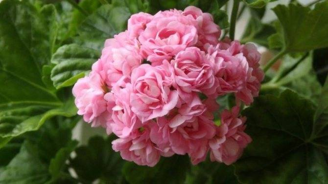 Пеларгония розебудная: характеристика королевской герани и особенности ухода за ней