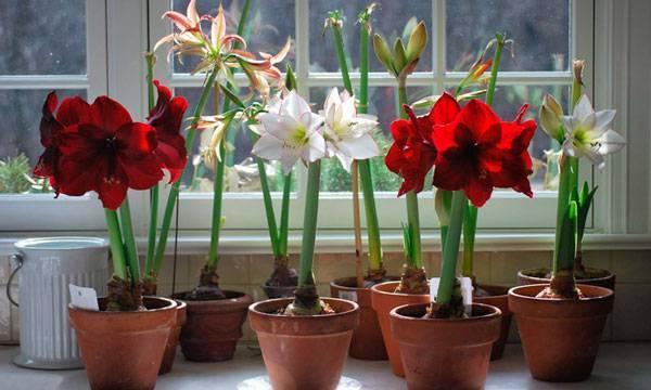 Цветок амариллис уход в домашних условиях во время и после цветения размножение