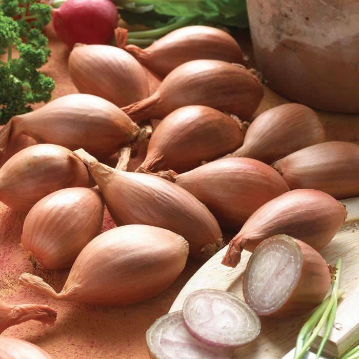 Самая полная информация о луке-шалот: описание, полезные свойства, популярные сорта и особенности выращивания