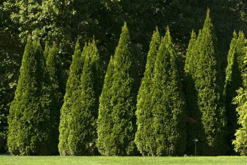 Туя западная — описание, варианты применения и советы по посадке и уходу для сада и участка (145 фото)