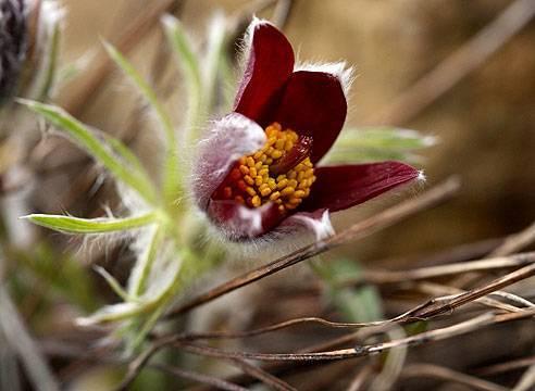Прострел – первый весенний цветок