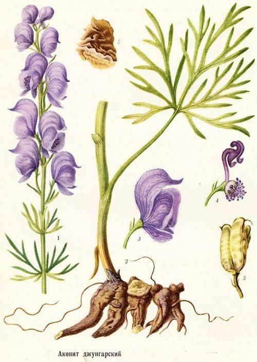 Волчий аконит (борец): описание, выращивание в открытом грунте