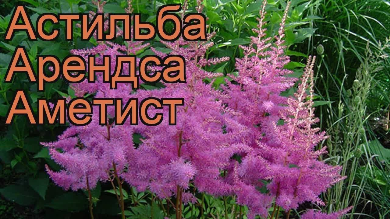 Фото с описанием популярных сортов астильбы для домашнего выращивания