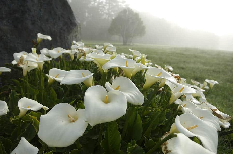 Цветы каллы — как посадить и ухаживать