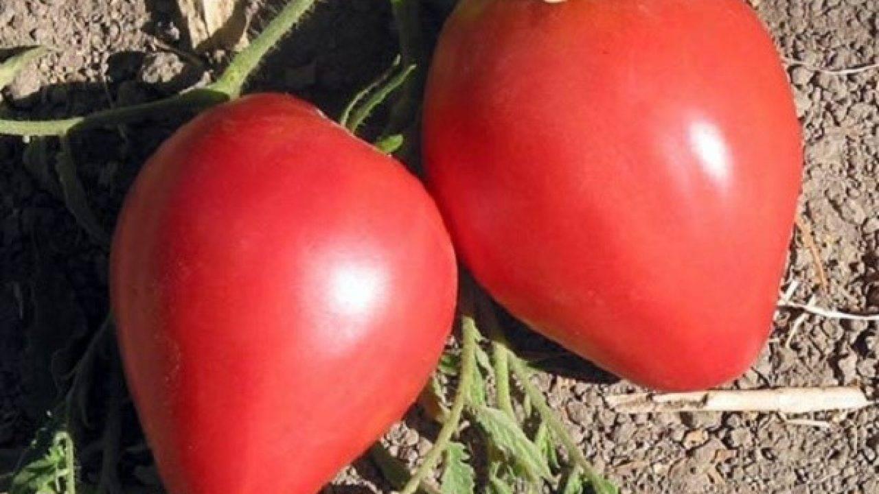 Высокоурожайный гигант с грядки – сорт томата «бычье сердце розовое»: характеристика и описание