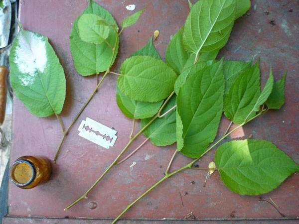 Актинидия посадка и уход в подмосковье выращивание из семян сорта с фото и описаниями