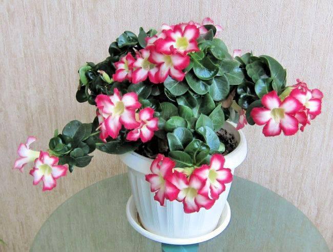 Выращиваем в домашних условиях розу пустыни —адениум