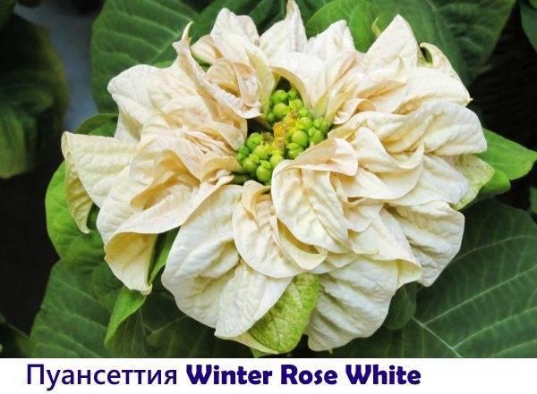 Рождественская звезда – роскошный цветок пуансеттия в доме: как ухаживать и какой сорт молочая красивейшего выбрать