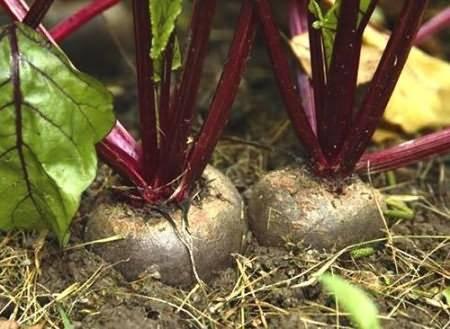 Свекла - уход и выращивание в открытом грунте