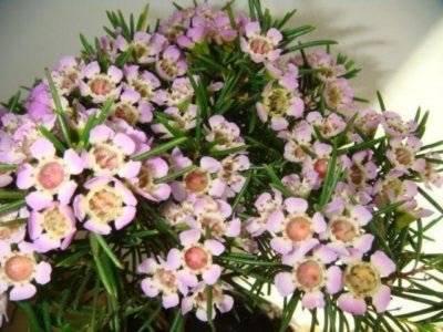 Хамелациум: описание, фото и уход в домашних условиях за цветком