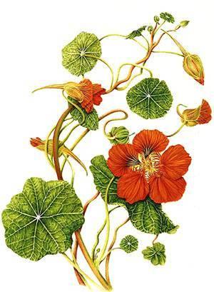 Украшение сада и источник витаминов - цветок настурция, видео
