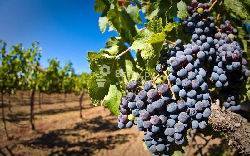 Особенности выбора сортов винограда для посадки на урале