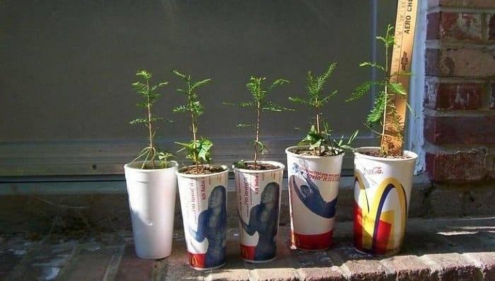 Выращивание кипариса из семян в домашних условиях: как вырастить и рассадить сеянцы?