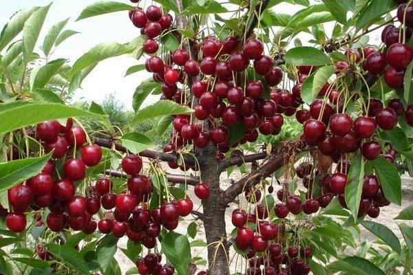 Вишня молодёжная: обзор кустообразной вишни