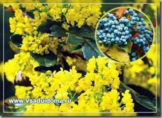 Магония - фото, посадка и уход, описание кустарника, использование в ландшафтном дизайне, размножение