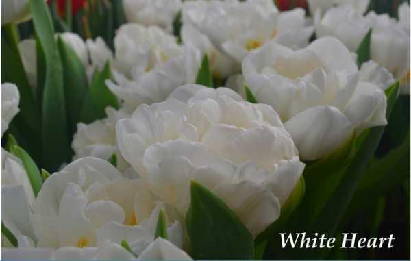 Выгонка тюльпанов к весенним праздникам за 6 шагов