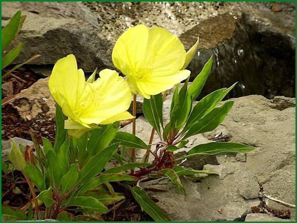 Выращивание энотеры многолетней