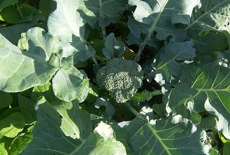 Выращиваем полезную брокколи без проблем