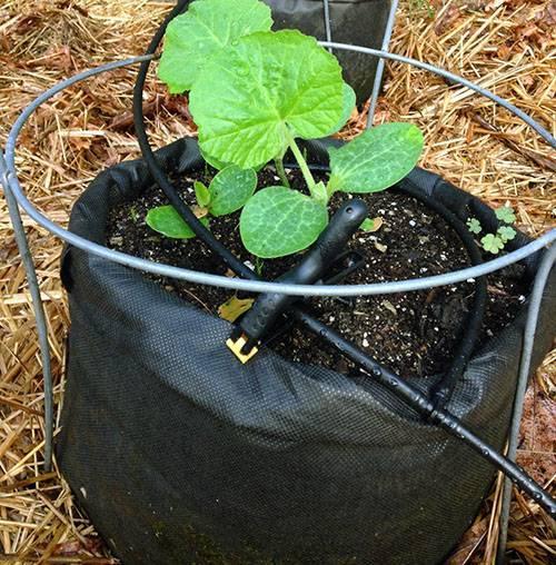Учимся выращивать сладкие дыни в открытом грунте и домашних условиях