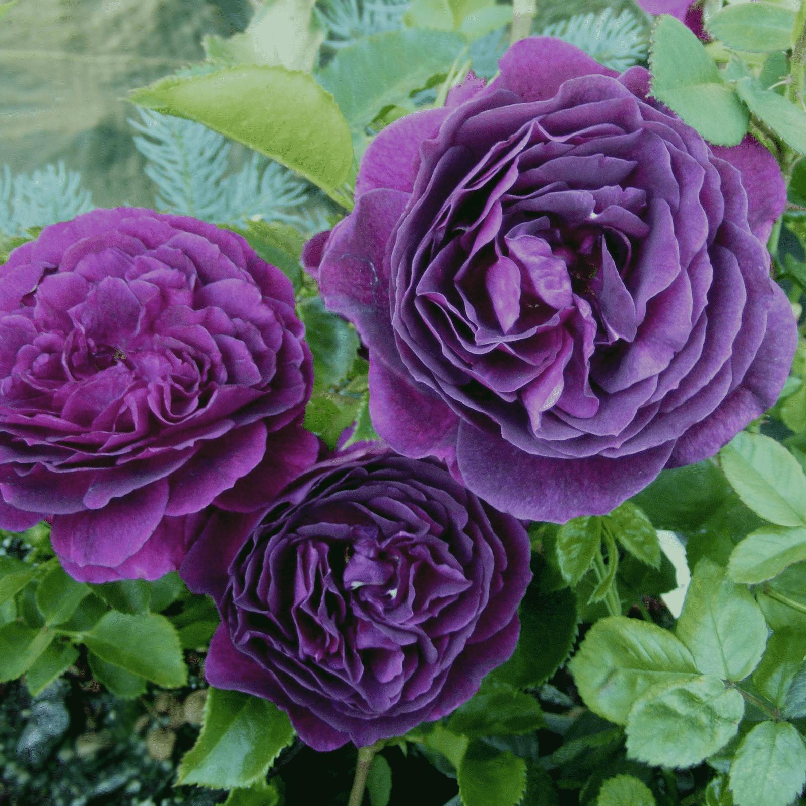 Непрерывно цветущие розы — самые красивые сорта