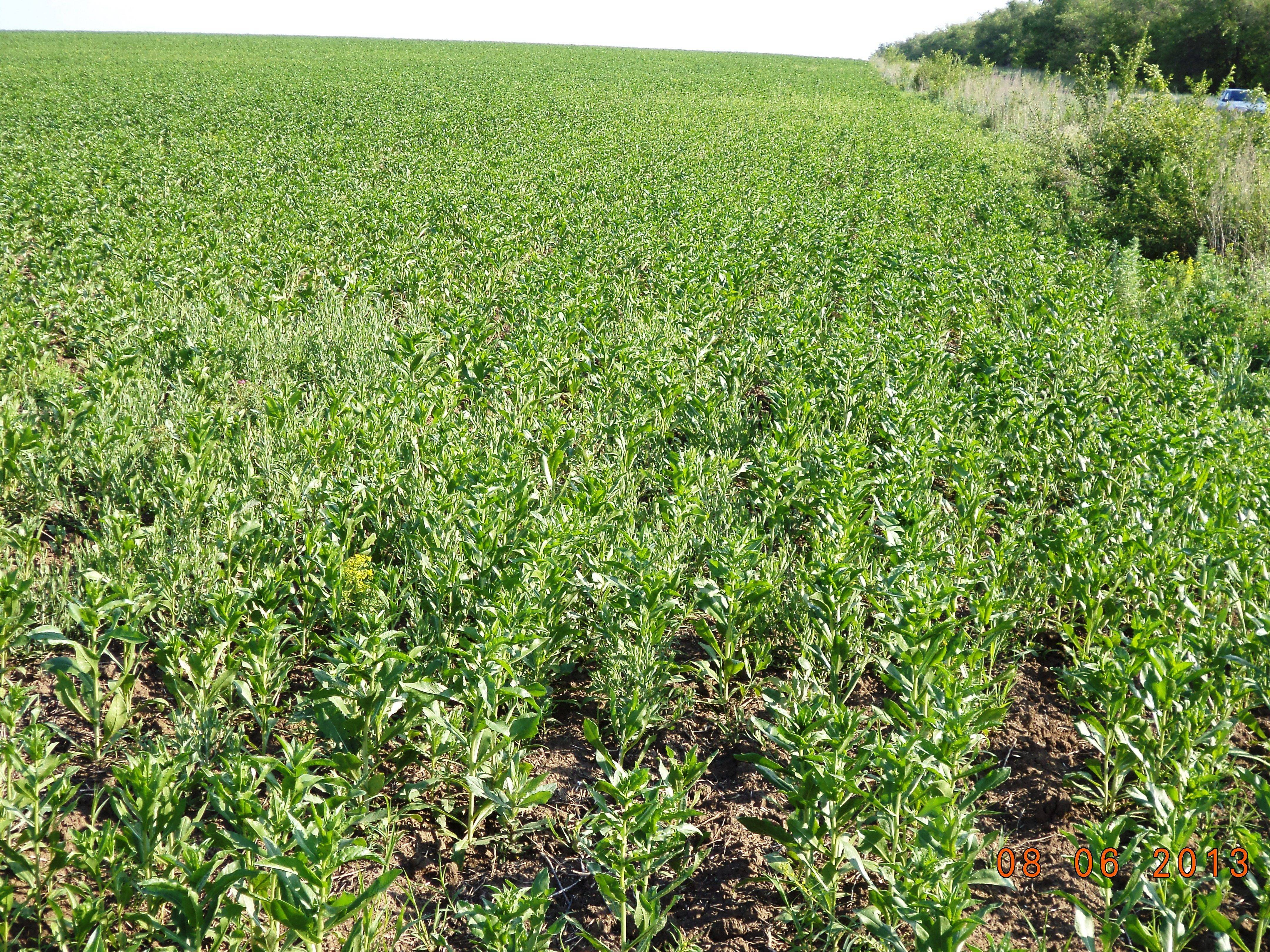 Технология выращивания сафлора: правила ухода за растением