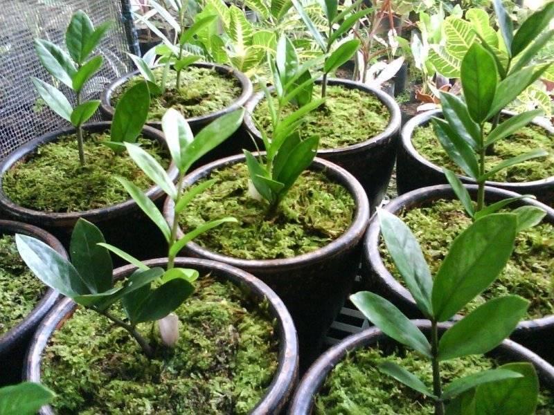 Размножение замиокулькаса — рекомендации цветоводам