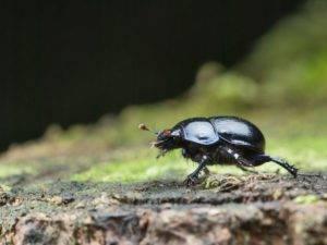 Роль жука навозника в почвообразовании