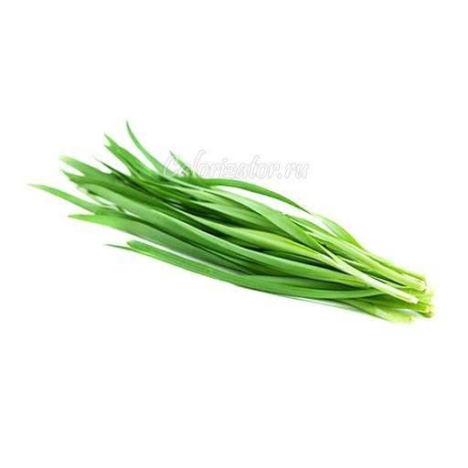 Зеленый лук: польза и вред, как хранить