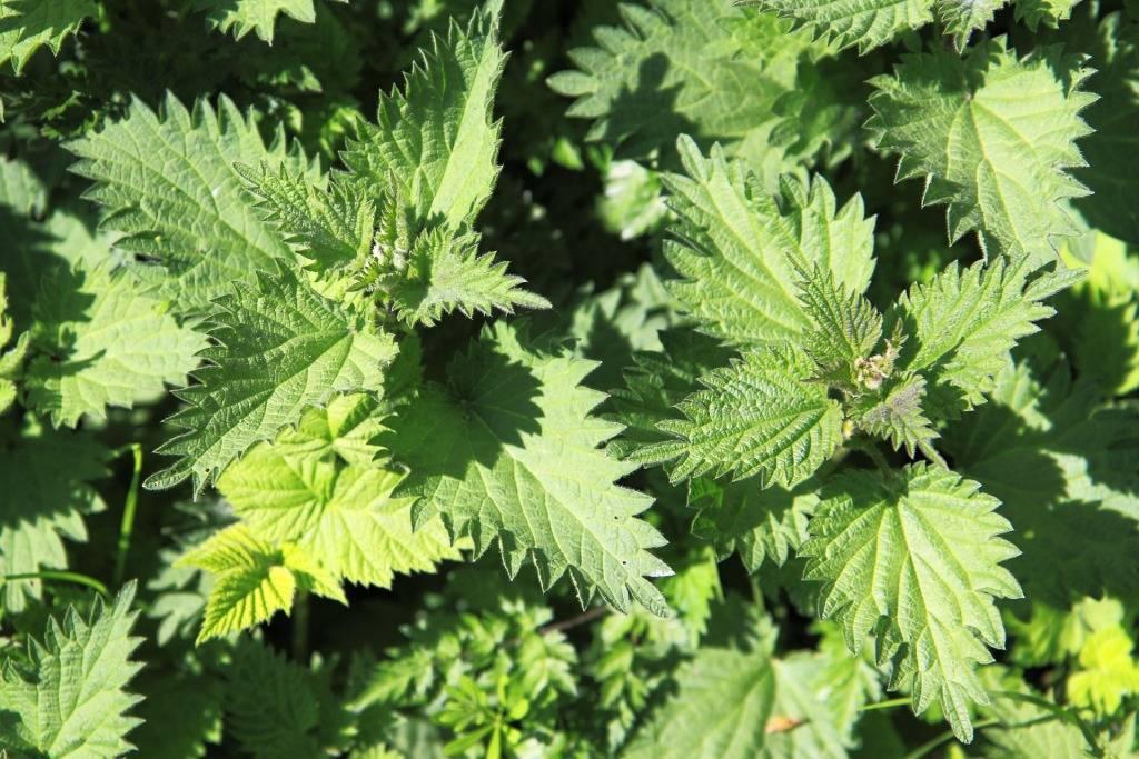 Съедобные травы — подорожник, лопух, одуванчик, крапива, видео