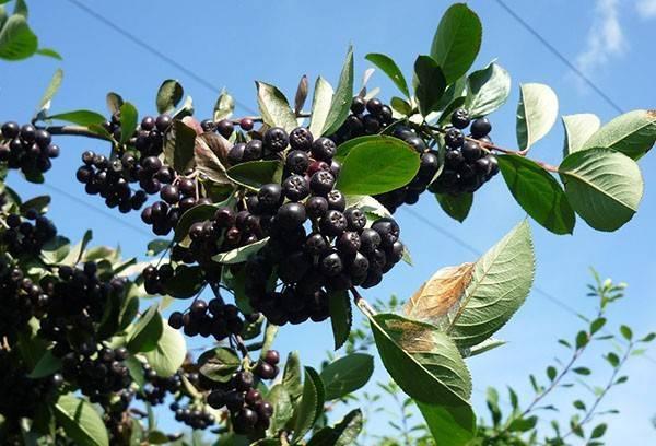 Несложное размножение черноплодной рябины
